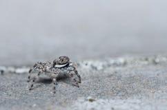 szarość skoku pająka ściany biel Obraz Stock