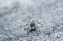 szarość skoku pająka ściany biel Obraz Royalty Free
