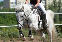 Szarość sporta koński doskakiwanie przez przeszkody Koński przedstawienia doskakiwanie w szczegółach zdjęcia stock