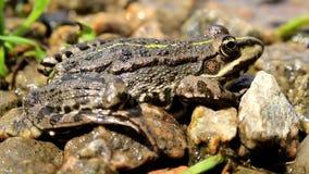 Szarości łaciasta żaba zbiory wideo