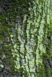 Szarości barkentyna zakrywająca z mech i liszajem drzewo Fotografia Stock