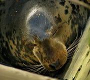 Szarości foki głowy szczegół Fotografia Royalty Free