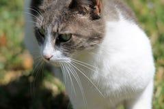 Szarości i białego domowy shorthaired kota portret zdjęcie royalty free