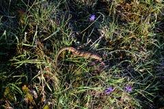 Szarości jaszczurka chuje w trawie zdjęcie royalty free
