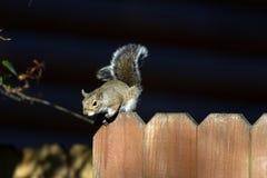 Szarości wschodnia wiewiórka, sciurus carolinensis Zdjęcie Stock