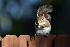 Szarości wschodnia wiewiórka, sciurus carolinensis Fotografia Royalty Free