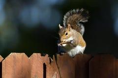 Szarości wschodnia wiewiórka, sciurus carolinensis Obrazy Royalty Free