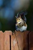 Szarości wschodnia wiewiórka, sciurus carolinensis Fotografia Stock