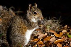 Szarości wschodnia wiewiórka, sciurus carolinensis Zdjęcie Royalty Free