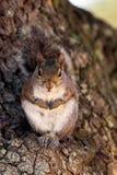 Szarości wschodnia wiewiórka, sciurus carolinensis Zdjęcia Stock