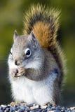 szarości wiewiórka Obrazy Stock