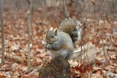 szarości wiewiórka Fotografia Stock
