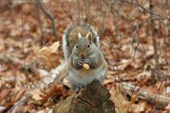 szarości wiewiórka Zdjęcia Royalty Free