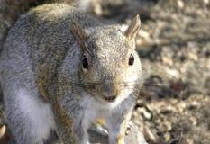 Szarości wschodnia wiewiórka Fotografia Stock