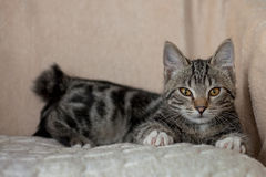 Szarość pasiastego kota figlarnie śliczny dom Zdjęcia Royalty Free