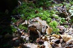Szarobrunatna lasowa żaba siedzi na zielonym mech Zdjęcie Stock