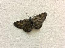 Szarobrunatny ćma, motyl siedzi na lekkiej beż ścianie obrazy royalty free