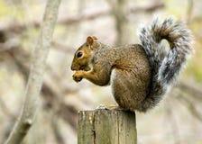 szarości wiewiórka Zdjęcie Stock