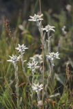 Szarotka - góra kwiaty miłość pardwy piosenka dziki drewna natury Zdjęcie Royalty Free