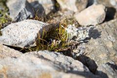 Szarotka kwiatu dorośnięcie między skałami obrazy royalty free