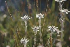 Szarotka - mountai kwiaty Fotografia Royalty Free