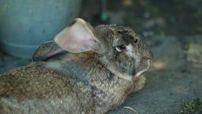Szary śliczny królik zbiory wideo