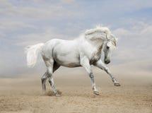 Szary Andaluzyjski koń w pustyni Zdjęcie Stock