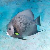 Szary angelfish Zdjęcia Royalty Free