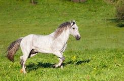 Szary Arabski koń Zdjęcia Stock