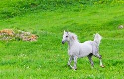 Szary Arabski koń Obrazy Stock