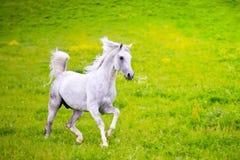 Szary Arabski koń Zdjęcie Stock