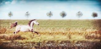 Szary arabski koński bieg cwał przy lata polem i nieba tłem Obraz Stock