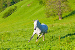 Szary Arabski koń Zdjęcia Royalty Free