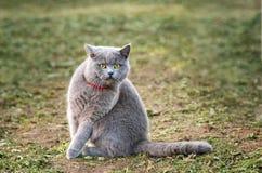 Szary Brytyjski kota obsiadanie na trawie fotografia royalty free