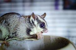 Szary cukrowy szybowiec Petaurus breviceps nadrzewny szybowniczy possum Egzotyczni zwierzęta w ludzkim środowisku zdjęcia royalty free