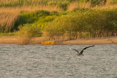 Szary czapli latanie wewnątrz nad jeziorem zdjęcia stock