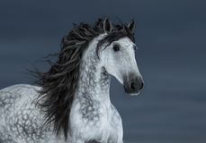 Szary długogrzywy Andaluzyjski koń w ruchu na zmrok chmury niebie obrazy royalty free