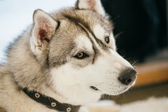 Szary Dorosły Syberyjskiego husky pies (Sibirsky husky) zdjęcia royalty free