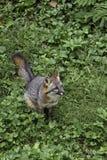 Szary Fox Zdjęcia Stock