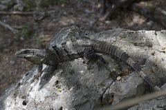 Szary gad lub jaszczurka na skałach z wielkim ogonem fotografia stock