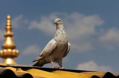 Szary gołąb na dachu buddyjski monaster Obrazy Stock