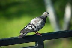 Szary gołąb na ulicie w parku Obraz Stock