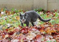 szary i biały kota odprowadzenie na ulicznych pięknych jesień liściach klonowych ziemia Zdjęcie Stock