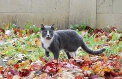 szary i biały kota odprowadzenie na ulicznych pięknych jesień liściach klonowych ziemia Zdjęcia Stock
