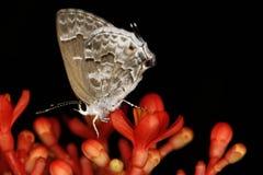 Szary i biały Motyli ekstremum zakończenia up zakończenie up Obraz Stock