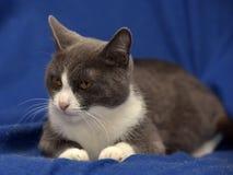 Szary i biały shorthair kot Fotografia Royalty Free