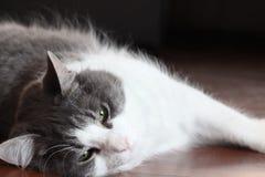 Szary i Biały kot Obrazy Stock