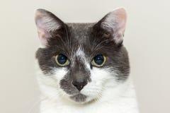 Szary i biały kota portret Zdjęcie Royalty Free