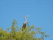 szary ibis Zdjęcia Royalty Free