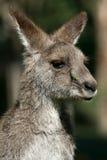 szary kangura z australii obraz stock